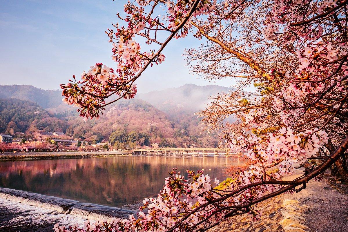 kyoto sărbătoarea florilor de cireș din japonia sakura blog calator