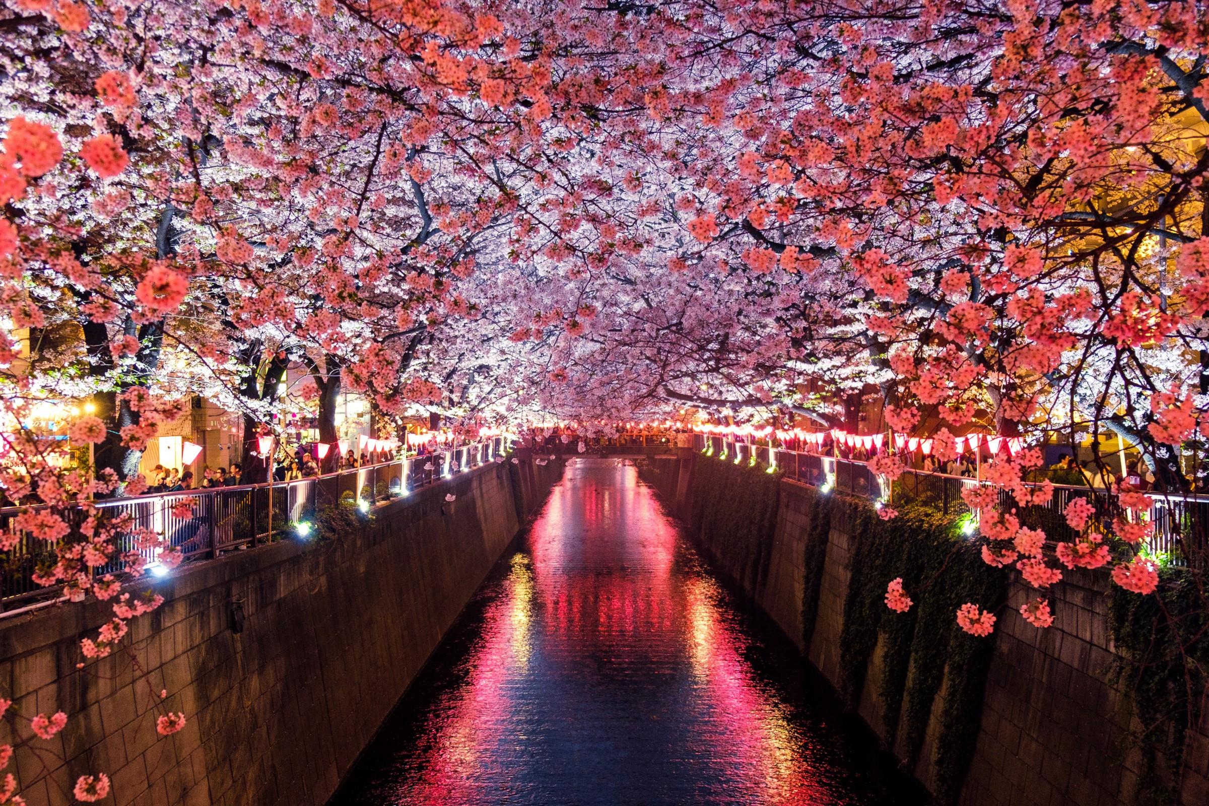 tokyo sărbătoarea florilor de cireș din japonia sakura blog calator